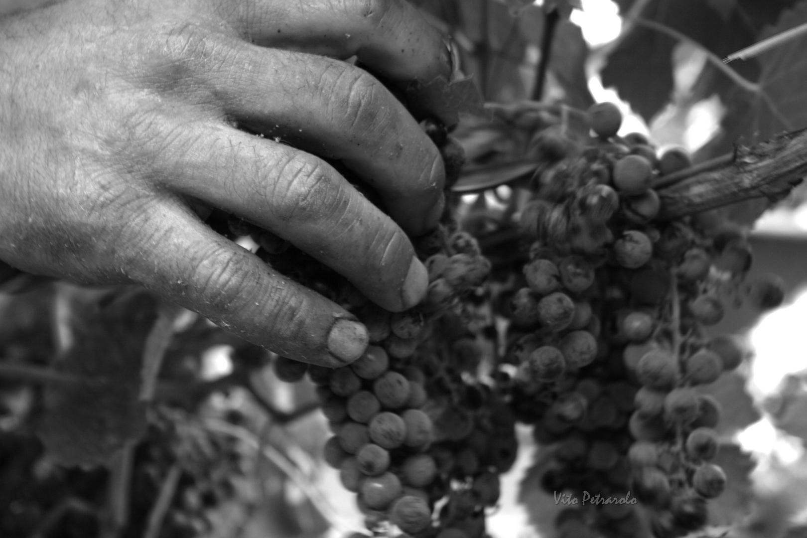 Azienda agricola Vincenzo Ricchioni - Palo del Colle - raccolta manuale dell'uva