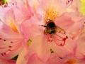 foto da cellulare - bombo su rododendro - 20140502_121803_1.jpg